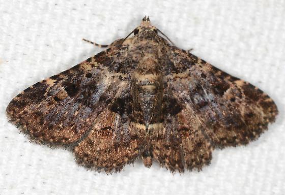 Metalectra discalis - Common Fungus Moth - Metalectra discalis