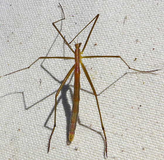 Apterobittacus apterus? - Apterobittacus apterus