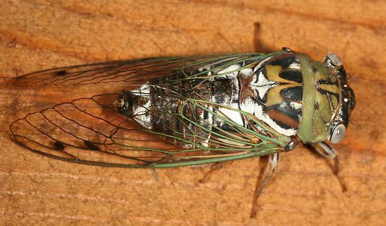 Cicada - Megatibicen resh
