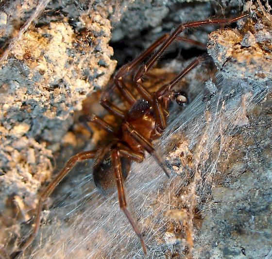 Ground Spider? - Amaurobius ferox
