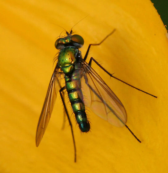 Long-legged Fly, a metallic green and blue fly - Condylostylus longicornis - male