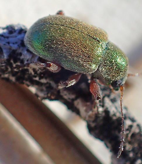 Green chrysomelid - maybe Glyptoscelis juniperi? - Glyptoscelis