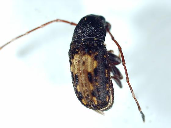 Cerambycidae? - Piesocorynus plagifer - male