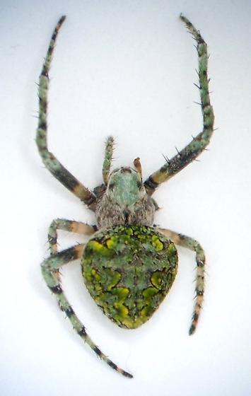 Eustala - Eustala anastera - female
