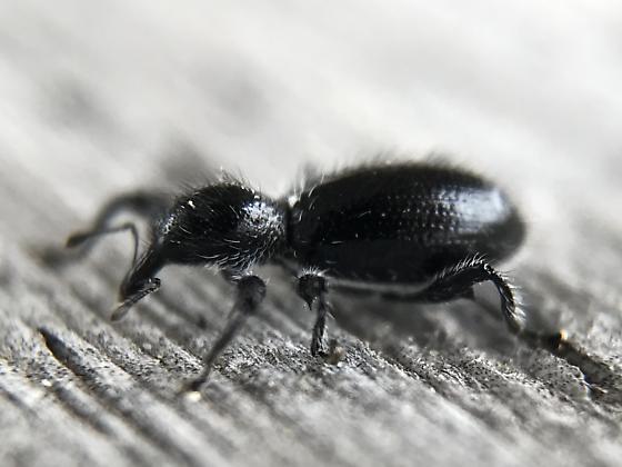 Weevil - Myrmex