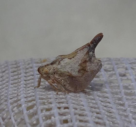 planthopper - Mistharnophantia