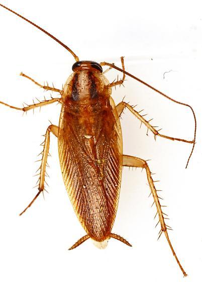 German Cockroach? Male? - Blattella germanica - male