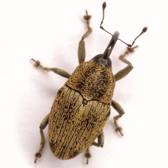Linogeraeus neglectus (LeConte) - Linogeraeus neglectus