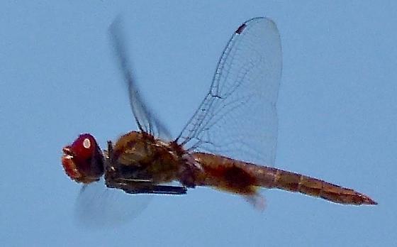 Dragonfly Hovering - Pantala hymenaea