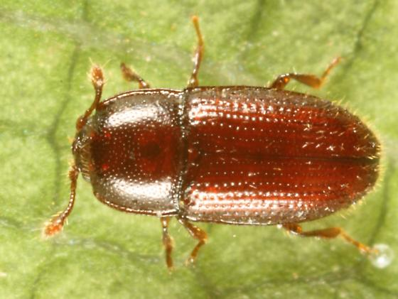 Small Beetle - Philothermus