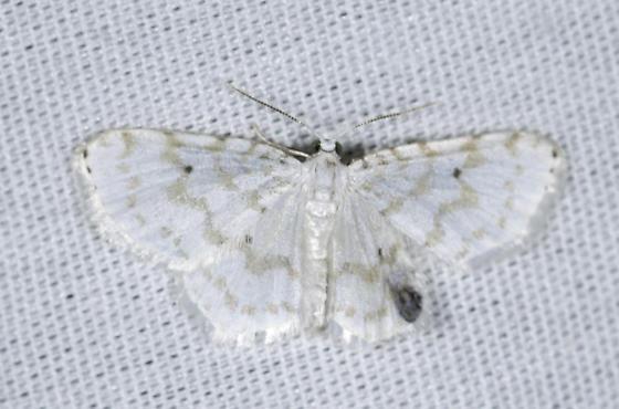 very faintly colored - Hydrelia albifera