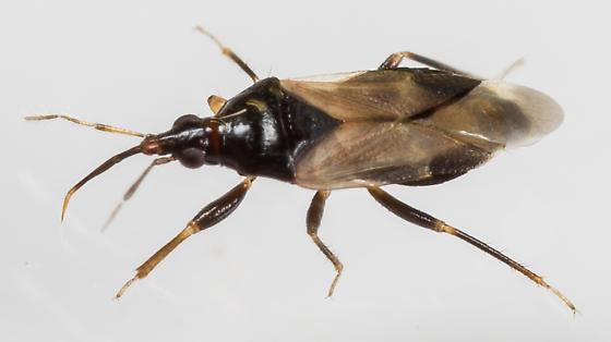 Minute Pirate Bug - Calliodis temnostethoides