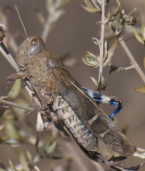 Blue-Winged Grasshopper - Leprus intermedius - female
