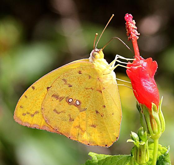 Orange-barred Sulphur - Hodges #4229 (Phoebis philea) - Phoebis philea
