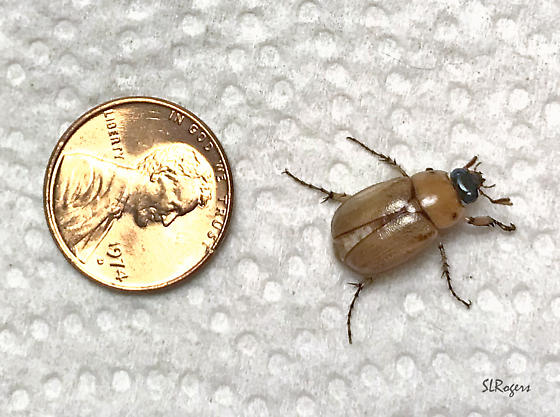 Light Tan Beetle with Dark Head - Cyclocephala