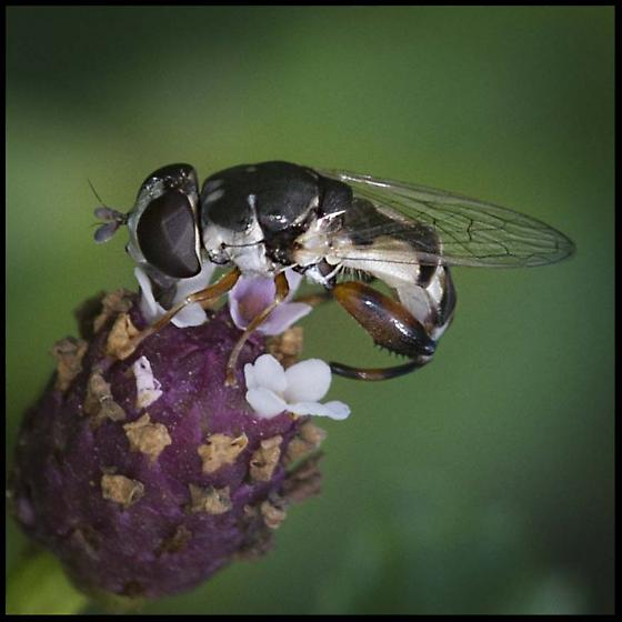Syrphidae,Thick-legged Hoverfly, Syritta pipiens, ID confirmation please - Syritta flaviventris