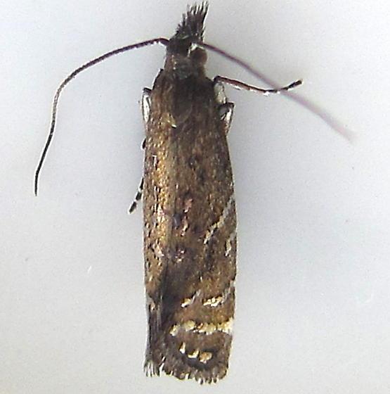 Moth - Drymoana blanchardi