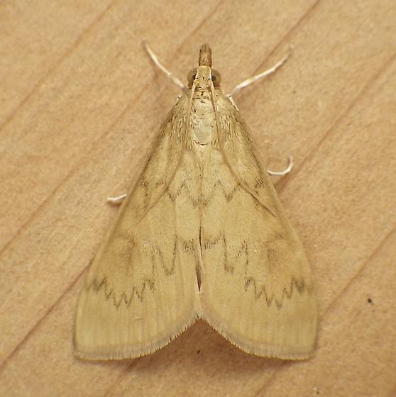 Crambidae: Ostrinia penitalis - Ostrinia penitalis