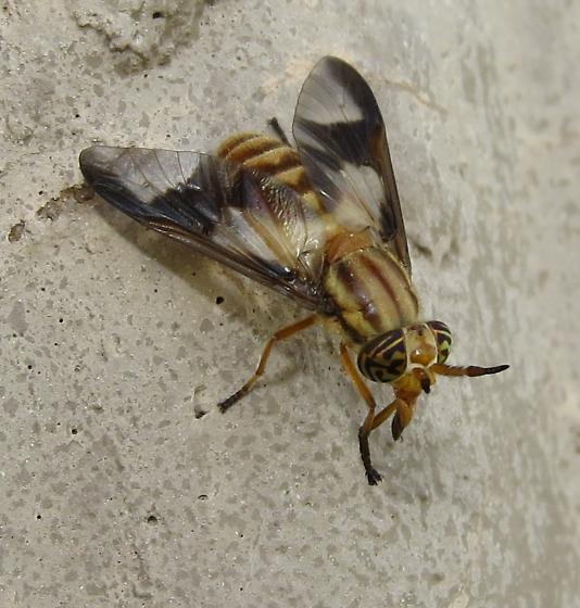 Deer fly - Chrysops flavidus - female