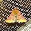 Moth ID - Schinia bina