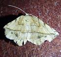 Packard's Eusarca - Eusarca packardaria - female