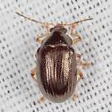 Rhabdopterus sp.? - Rhabdopterus