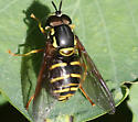 Syrphid Fly ID? - Chrysotoxum
