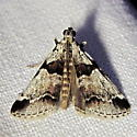Hodges #5592 - Watson's Tallula Moth - Hodges #5591 - Tallula atrifascialis