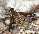 Williston's Bee Fly - Poecilanthrax willistonii