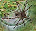 Spider in Northern Wisconsin - Dolomedes tenebrosus
