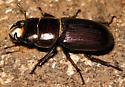 Dorcus parallelus - male
