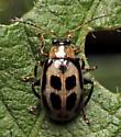 Beetle - Cerotoma trifurcata