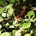 Tachypompilus ferrugineus with spider - Tachypompilus