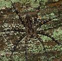 DSC02310 camo spider - Dolomedes tenebrosus