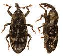 weevil - Cosmobaris scolopacea