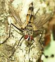 Zelia - Zelia vertebrata - male
