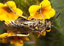Sawfly - Filacus pluricinctellus