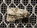 moth_19 - Lacinipolia laudabilis
