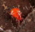 Mite ID - Hypochthonius rufulus