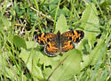 Pearl Crescent - Phyciodes tharos