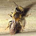 Big-headed Bee - Andrena