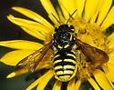 Anthidiini Female on Gumweed  - Paranthidium jugatorium - female