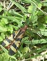 Panorpa nuptialis  - Panorpa nuptialis - female