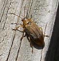 Genus Ophraella - Erynephala maritima