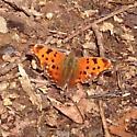 unknown moth - Polygonia comma