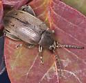 weevil - Pachymerus nucleorum