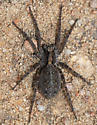 Which Wolf Spider is this? - Alopecosa kochi