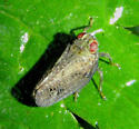 planthopper - Thionia