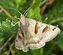 Common Name?  - Caenurgina erechtea