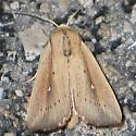 Scirpus Wainscot - Leucania scirpicola
